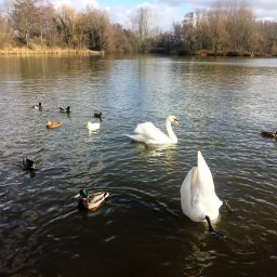 Swans and ducks at Ryton Pools, Warwickshire