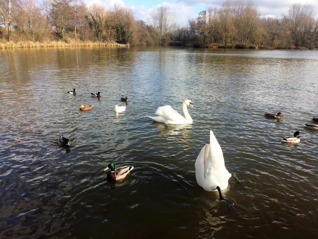 Swans and ducks at Ryton Pools, Warwickshire