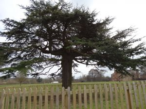 Large tree with full branches