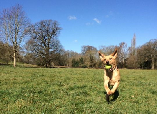 Yellow labrador retriever running across a park with a ball