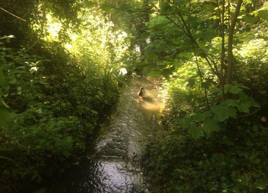 Mallard in stream