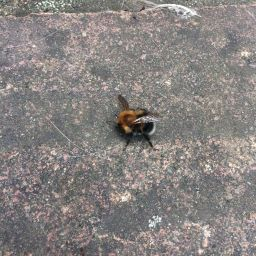 A tree bumble bee on the ground.