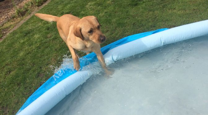 Yellow labrador retriever splashing into blue paddling pool