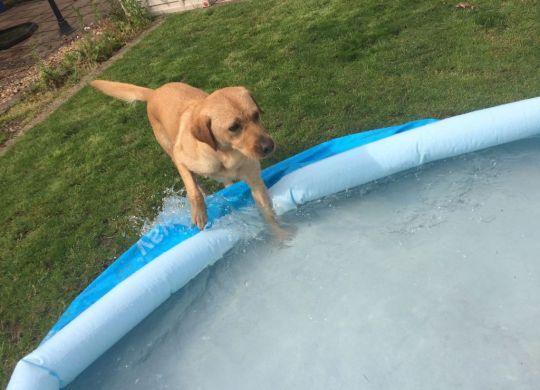 Yellow labrador retriever splashing into blue paddling pool