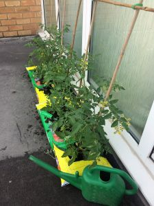Tomato plants on balcony