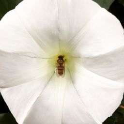 Hover fly on a white flower