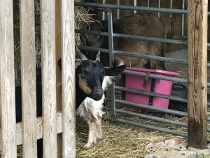 Goat at a farm
