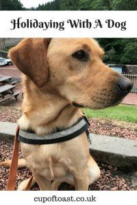Pinterest image of yellow labrador dog on holiday.
