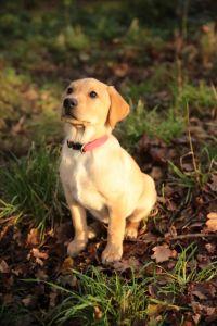 Lady P puppy