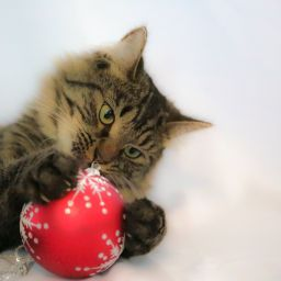 Obi cat with a red bauble