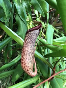 Pitcher plant at the Eden Project