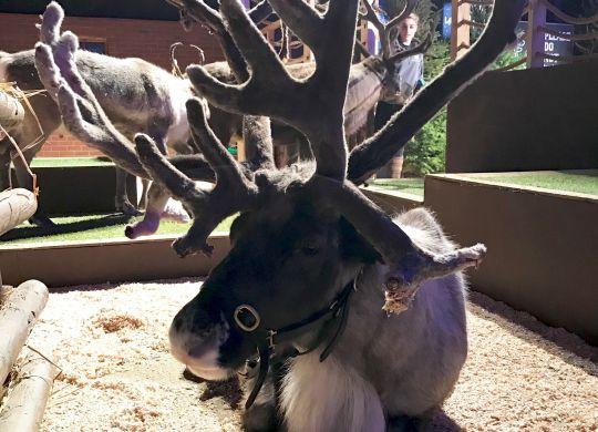 Reindeer - SnowDome