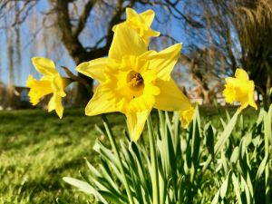 Daffodils in the spring sunshine