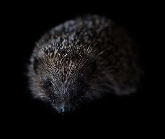 British Hedgehog