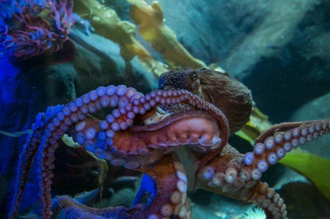 Octopus - National Marine Aquarium