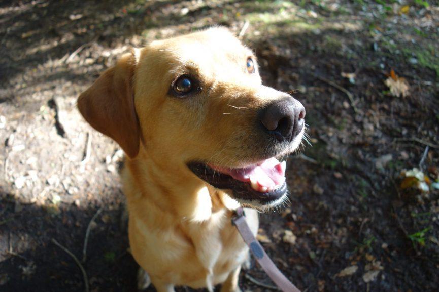 Penny the Labrador