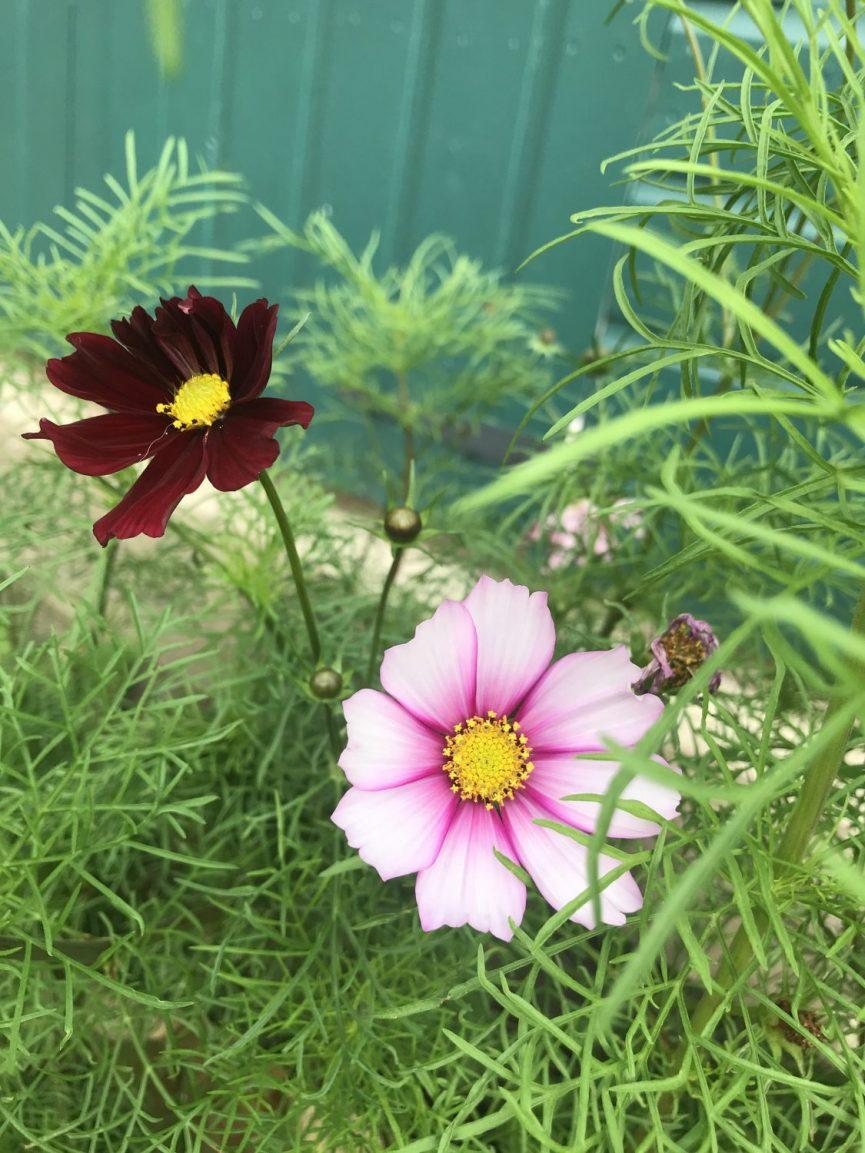 Delicate cosmos flowers