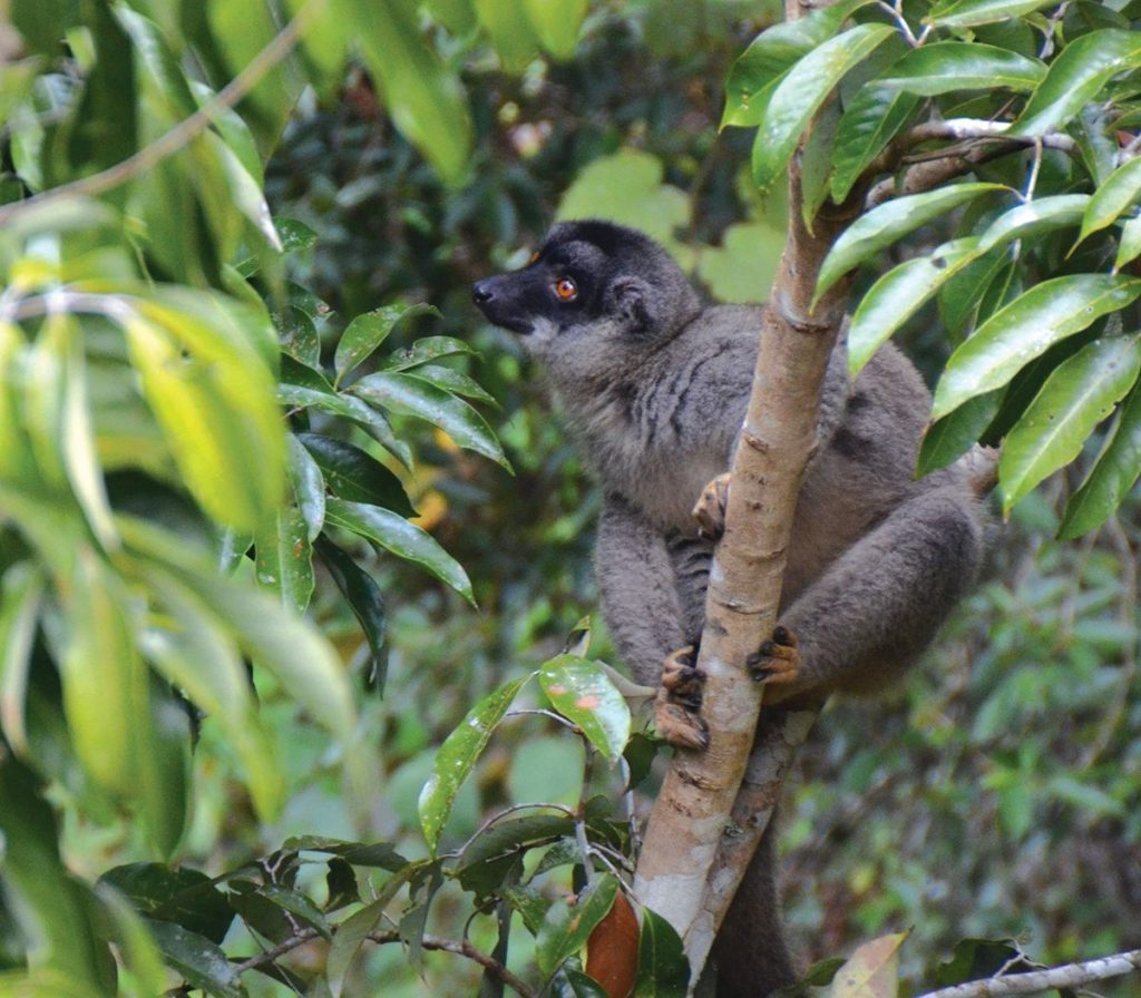 Lemur looking across