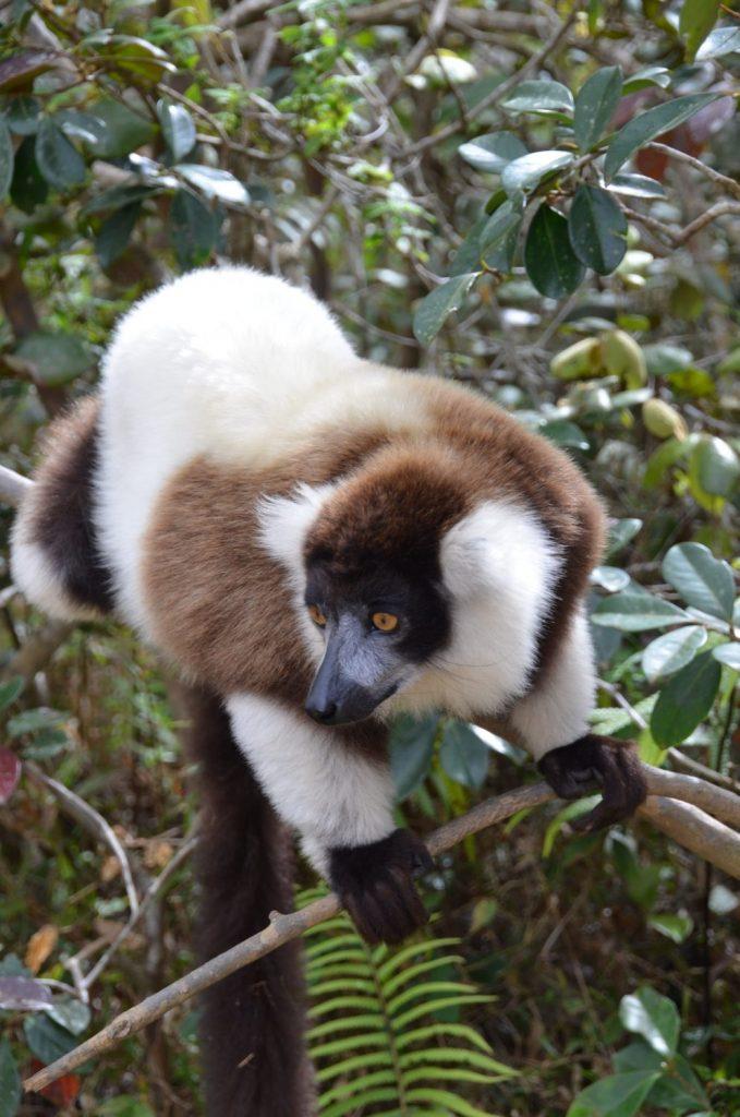 Lemur on a branch
