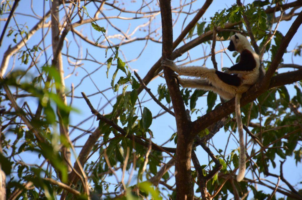 Lemur sitting in a tree