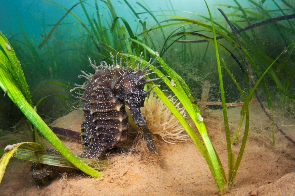 Female spiny seahorse