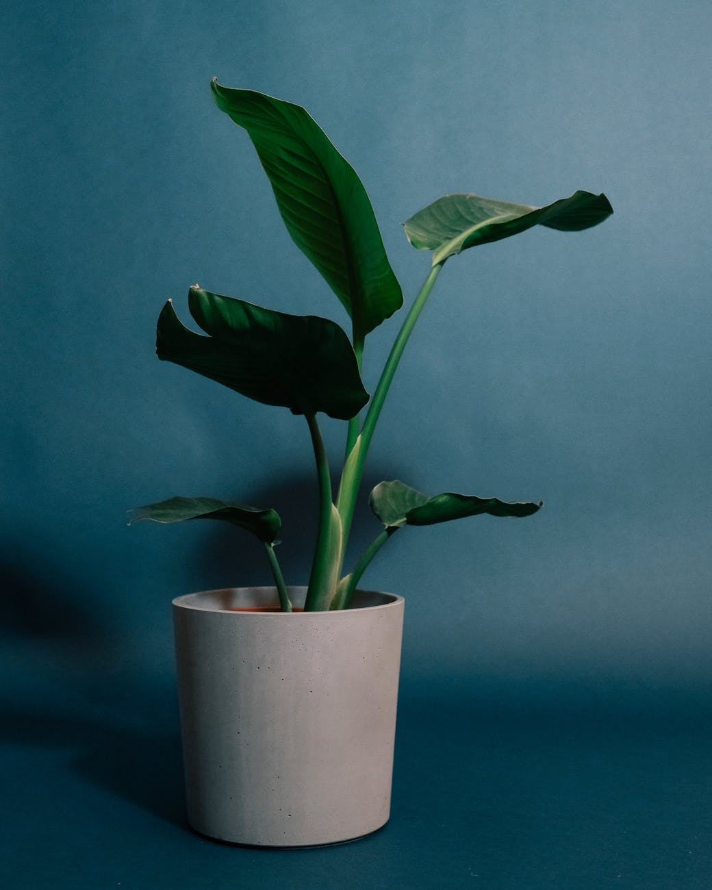 potted plant with green leaves on blue surface