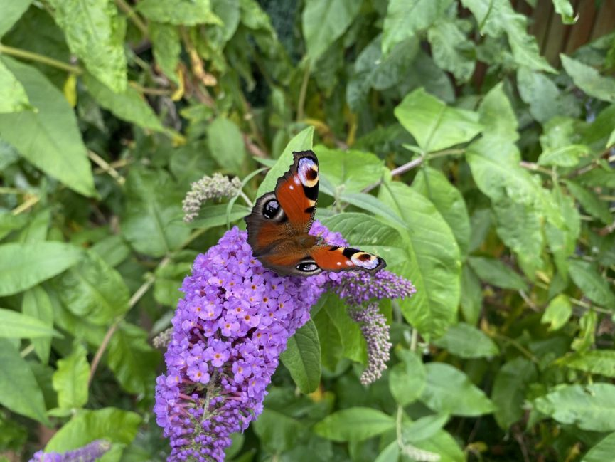 Peacock Butterfly on a buddleja a good minibeast to have
